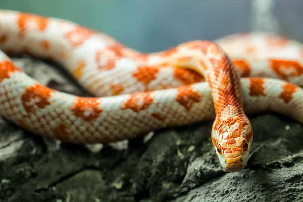 Corn snake on a rock