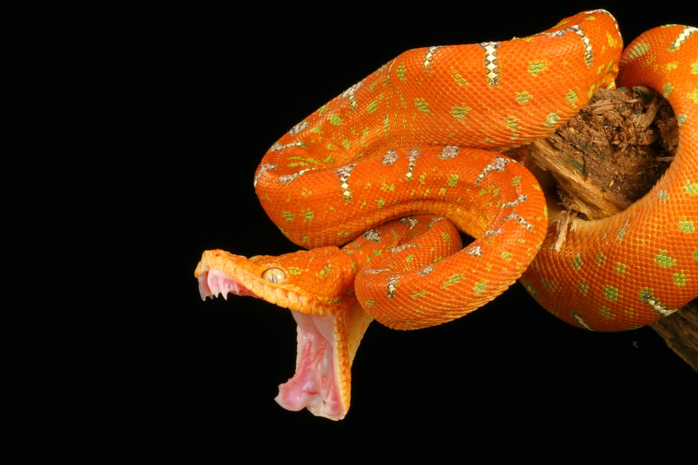Emerald Tree Boa with its mouth wide open