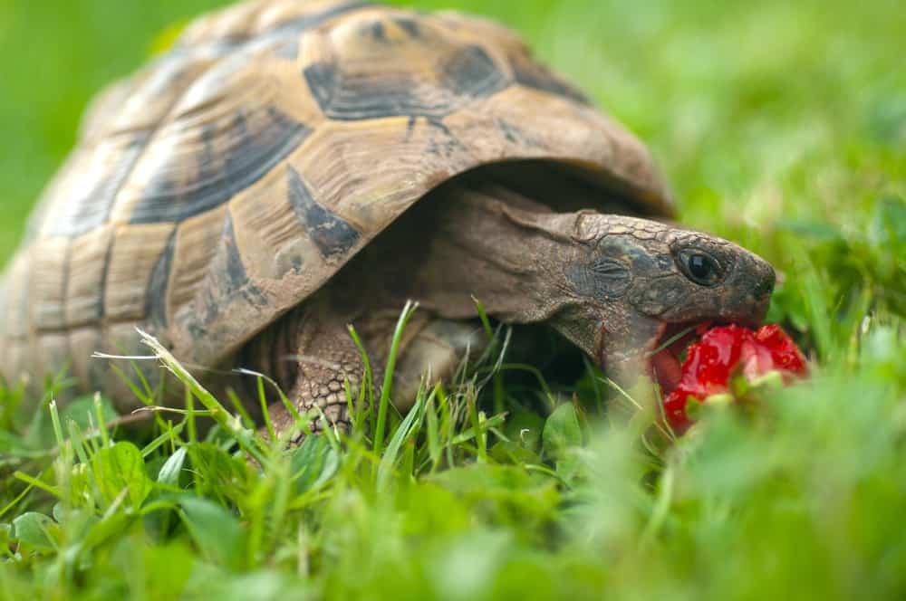 Turtles strawberries hunger