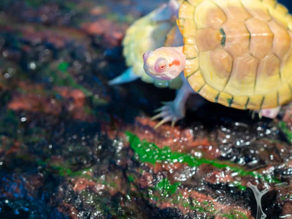 Little Albino Snapping turtle
