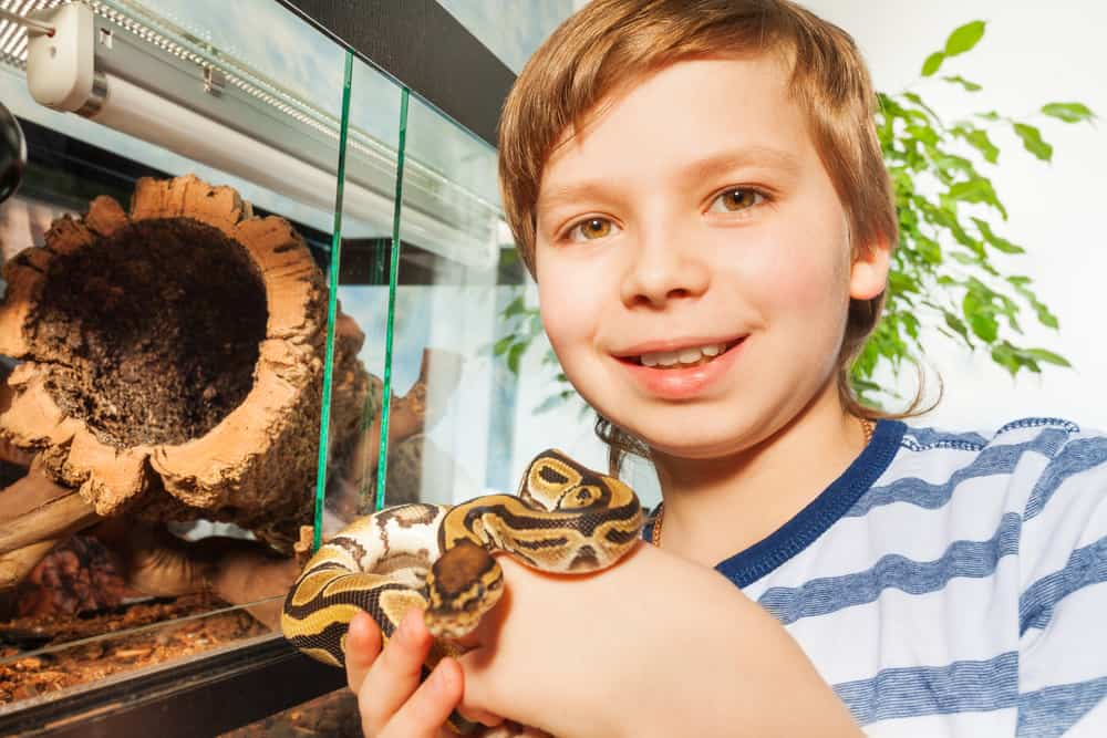 Smiling boy holding a young  Royal ball python in his hands