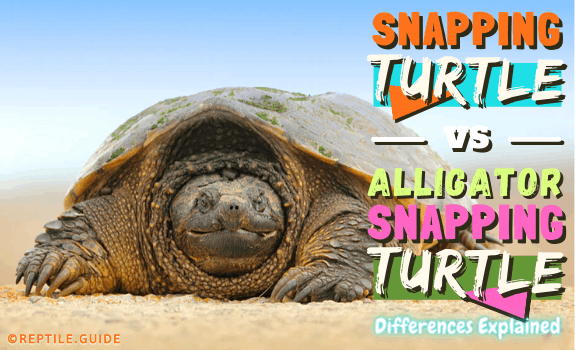 Snapping Turtle vs Alligator Snapping Turtle - Differences Explained