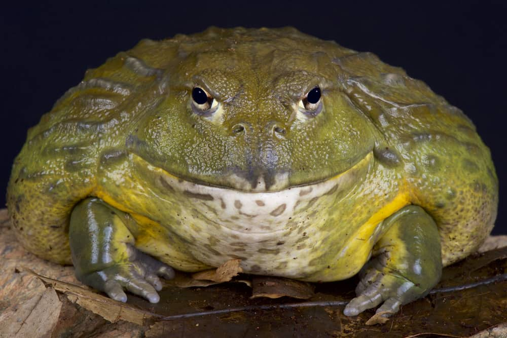 african_bullfrog_have_fang-like_bone_projections