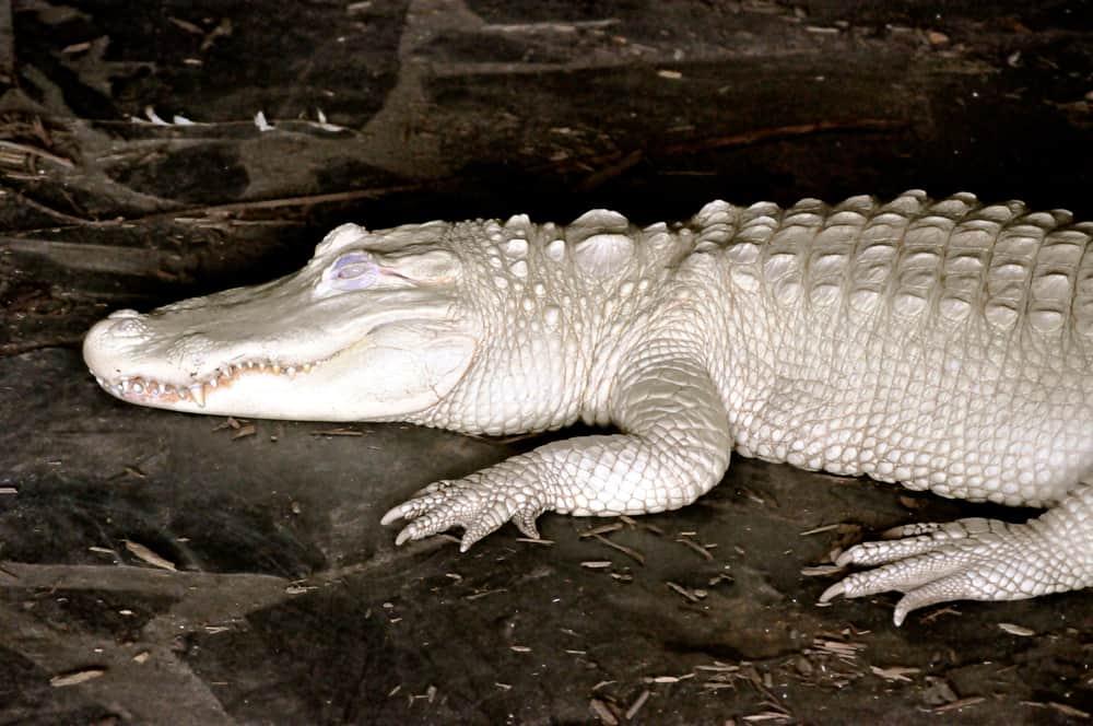 White Alligator Albino