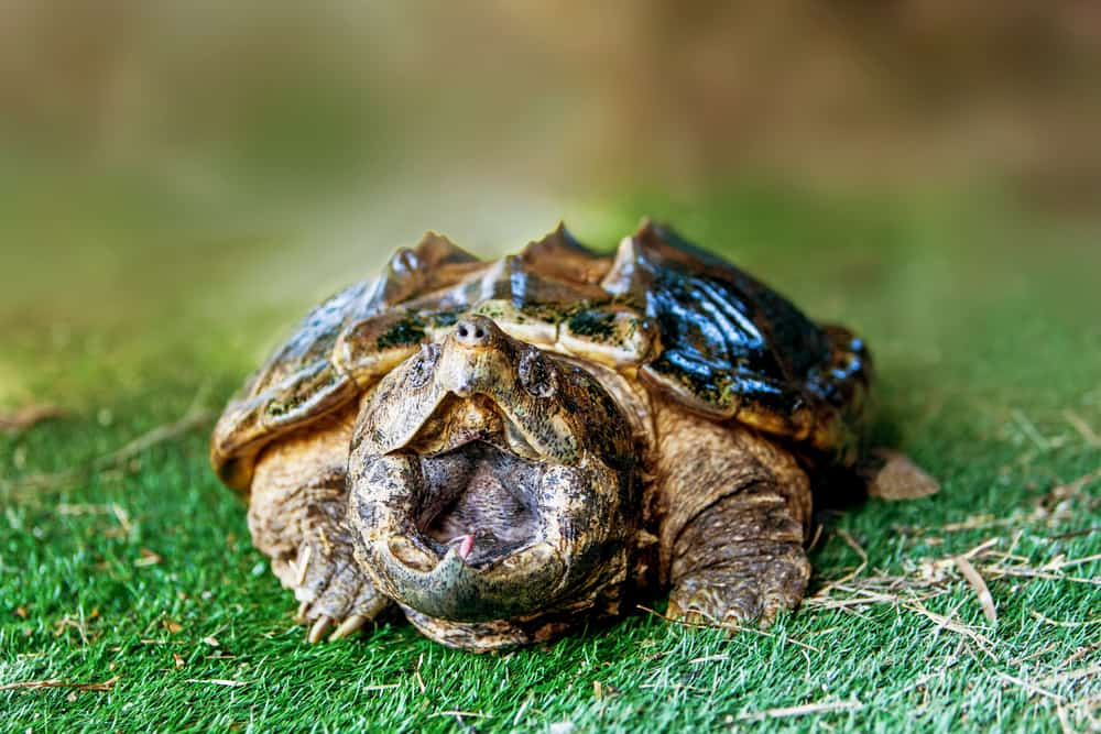 alligator snapping turtle's pink, fleshy mouth lure