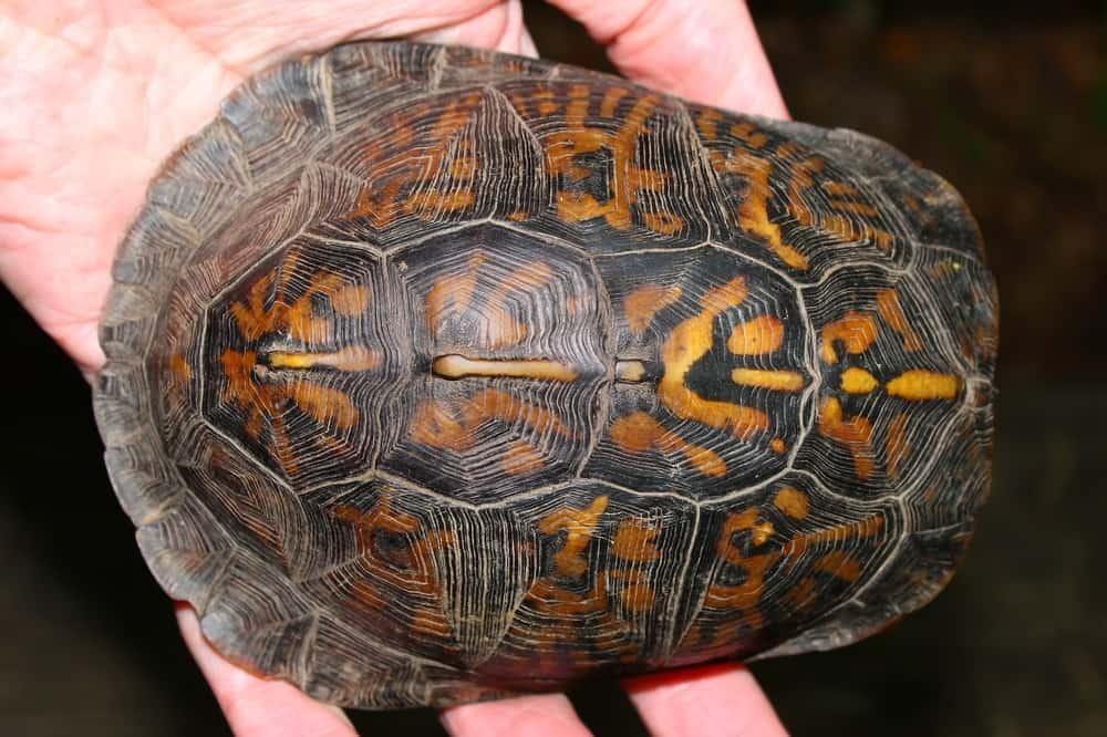 Baby box turtle shell