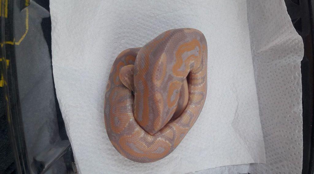 banana cinnamon ball python