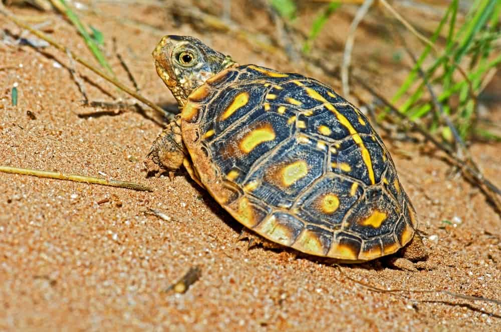 basking baby box turtle