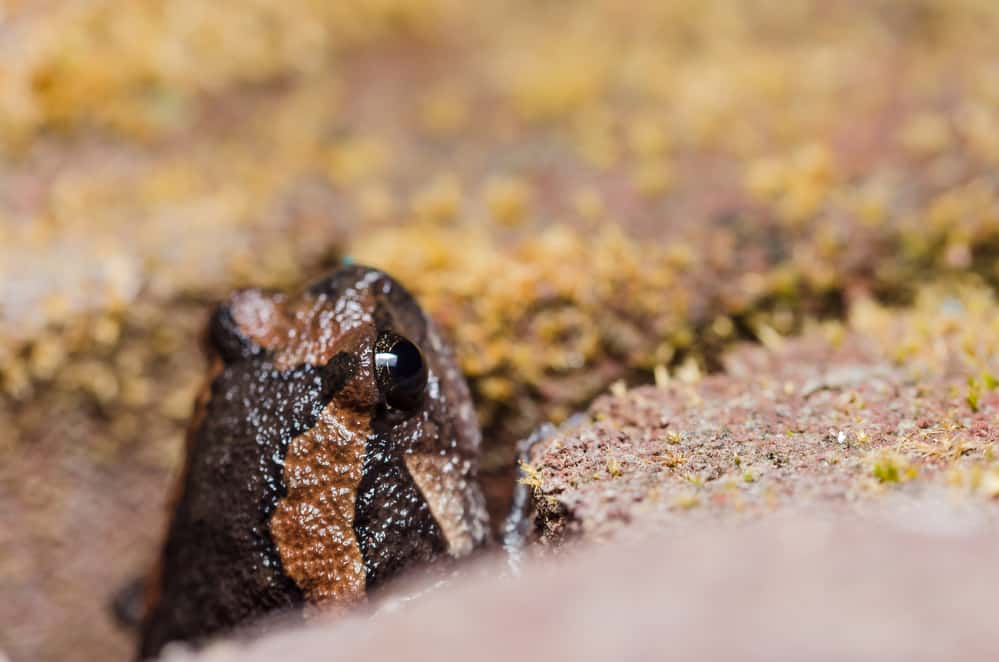 Close up of chubby frog in a crevice