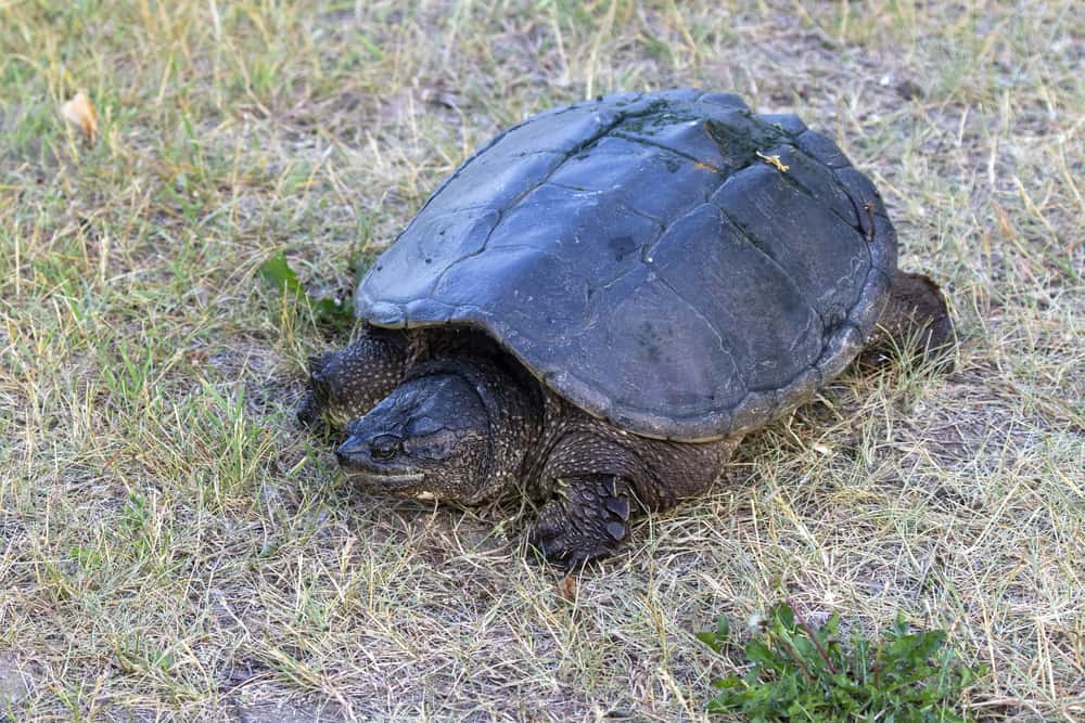 common snapping turtle on grass