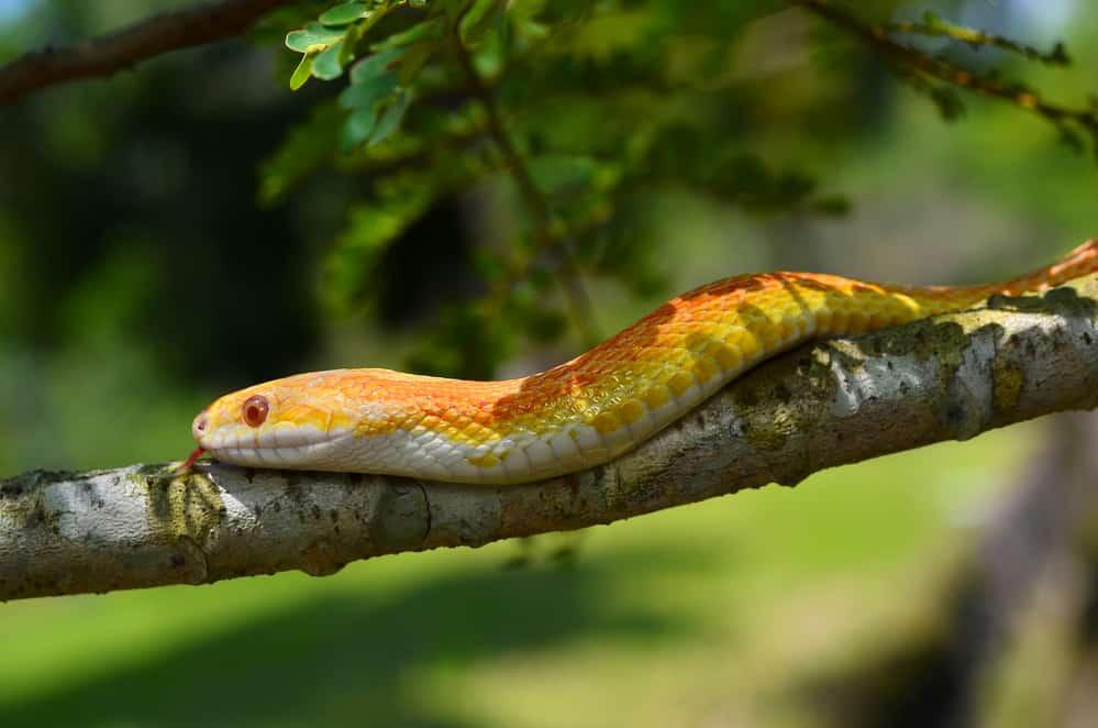 Ball python on a branch