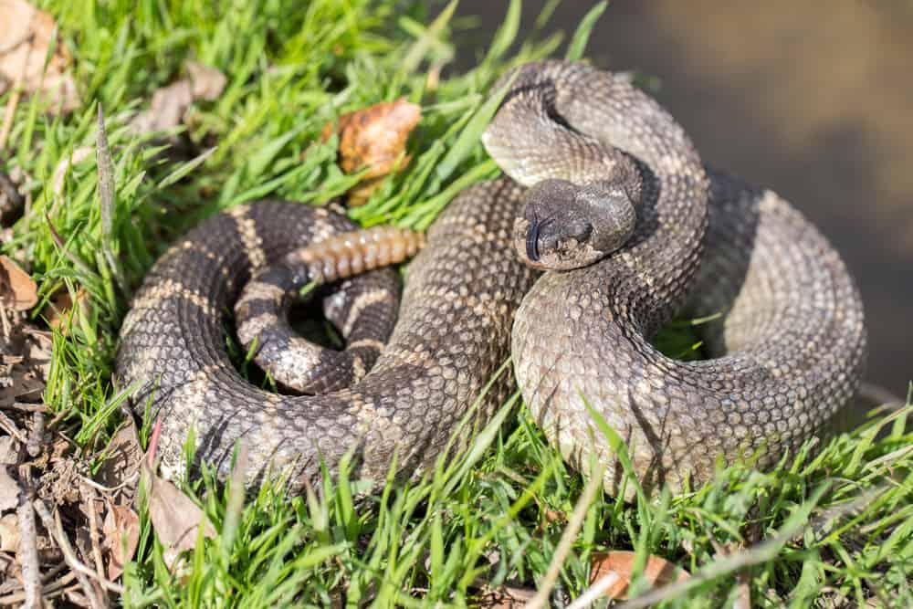 rattlesnake displaying classic S posture