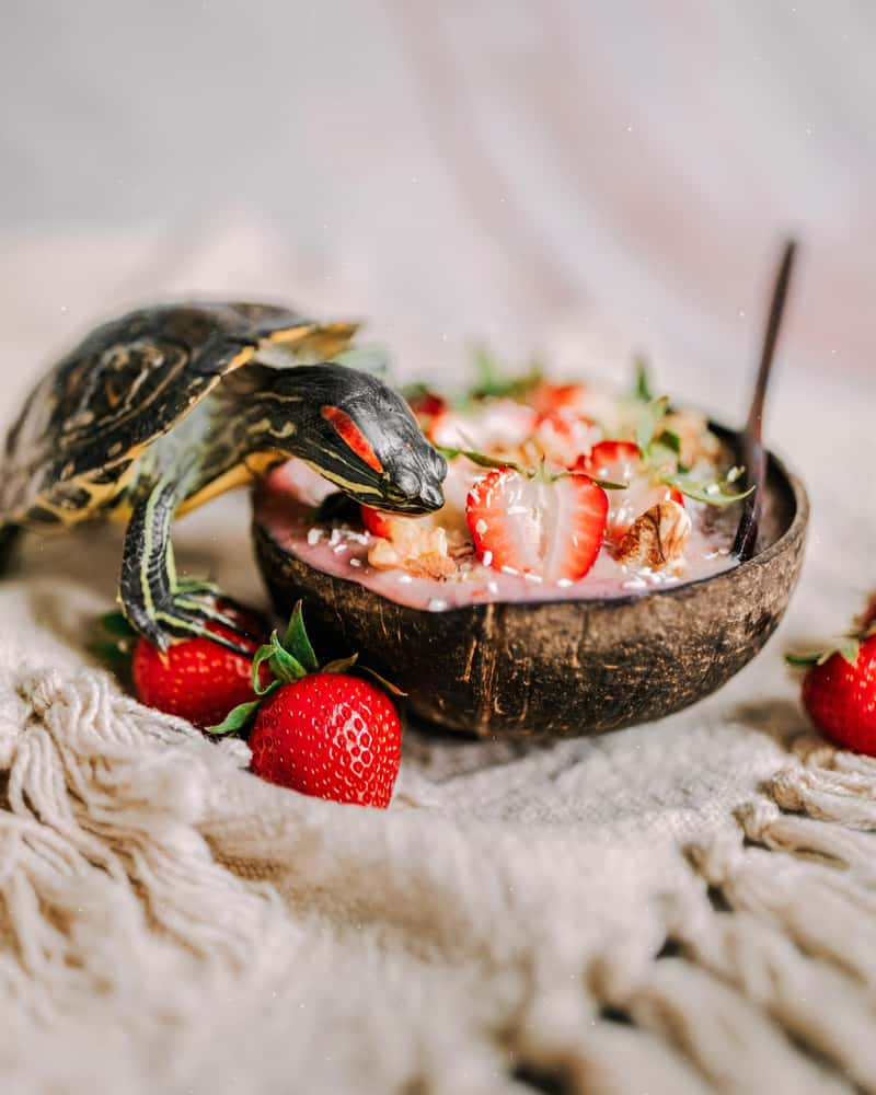 Shallow focus of a small water turtle eating strawberry salad