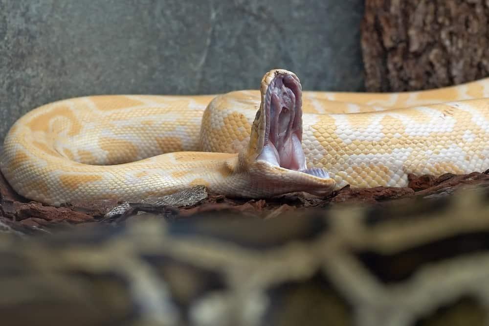 yawning Burmese python