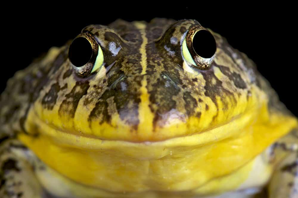 yellow_bullfrog