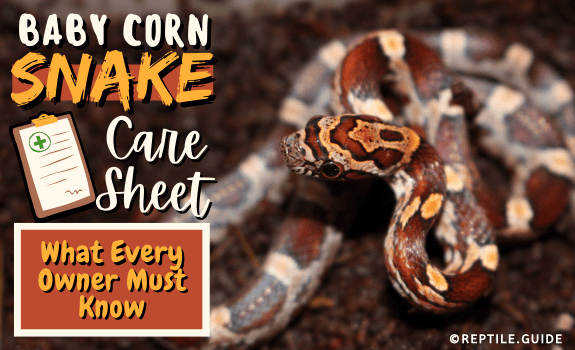 Baby Corn Snake Care Sheet What Every Owner Must Know