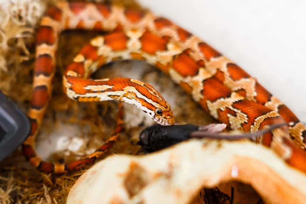 Baby Corn Snake eating a dead baby mouse