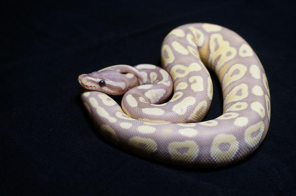 Ball Python morph on black background