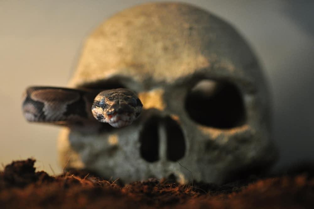 Ball python snake in a skull