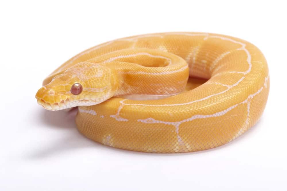 An albino pinstripe against a white background