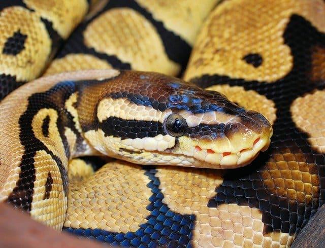 Ball python closeup