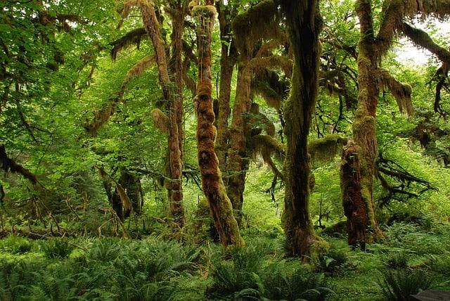 Blunt-headed vine snakes rainforest habitat