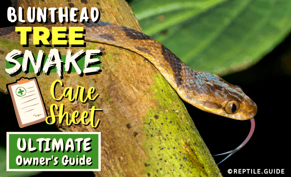 Blunthead Tree Snake Care Sheet Ultimate Owner's Guide