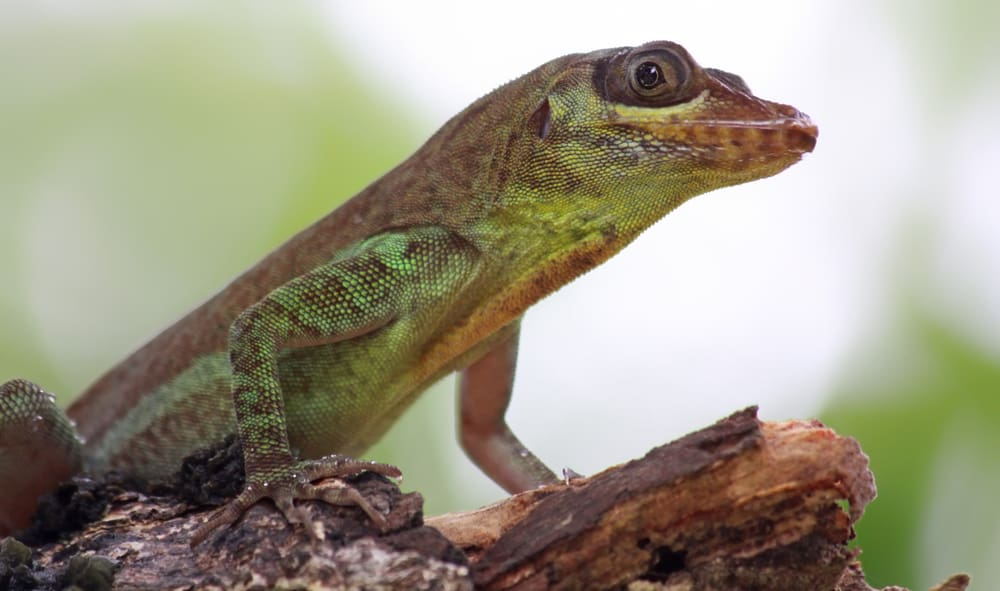 Anole lizard on tree bark with blurry background