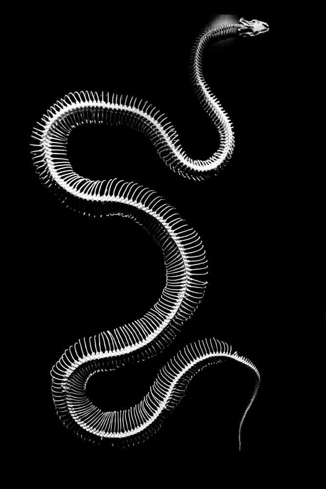 Do snakes have bones? Snake skeleton x-ray