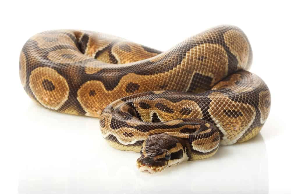 cinnamon enchi ball python