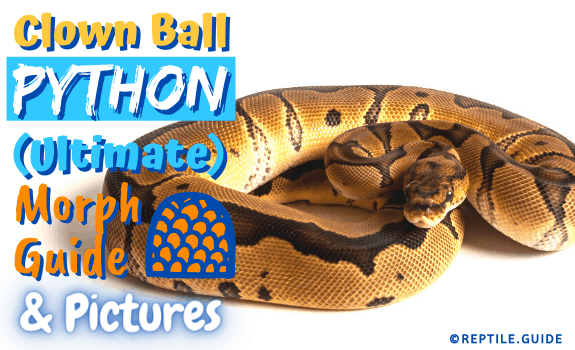 Clown Ball Python (Ultimate) Morph Guide & Pictures (3)