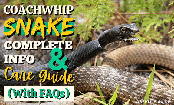 Coachwhip Snake Complete Info & Care Guide (With FAQs) (1)