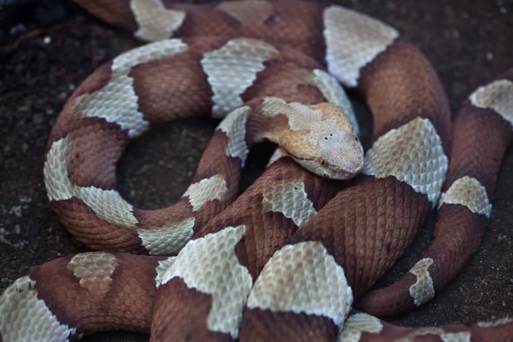 A Copperhead (Agkistrodon contortrix) snake