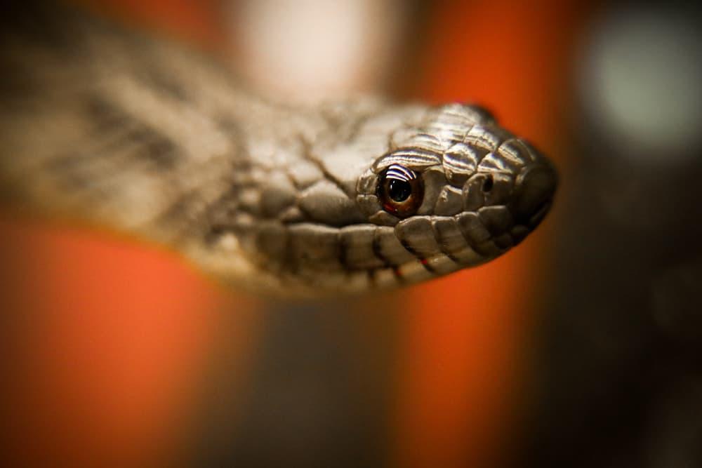 Typical water snake closeup