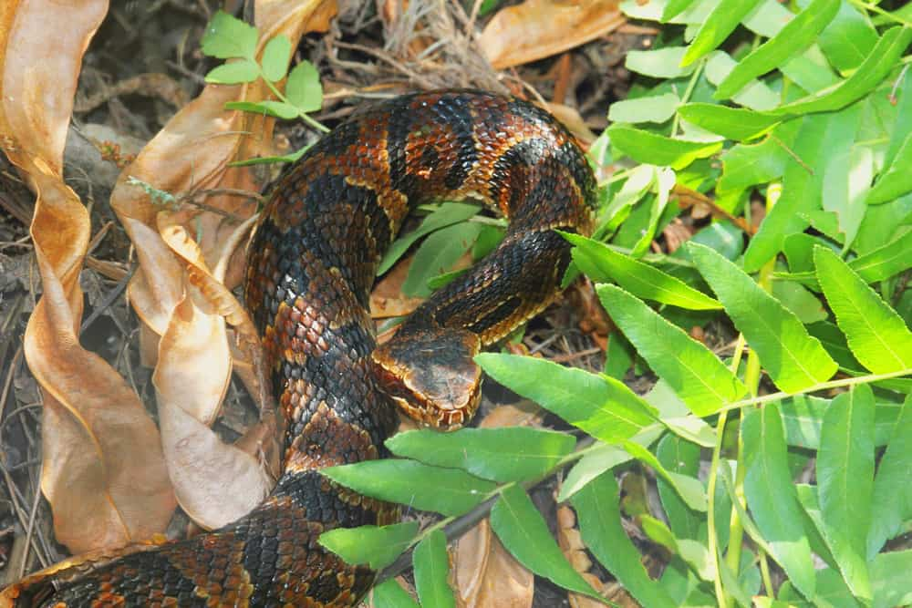 Cottonmouth snake on dead leaves