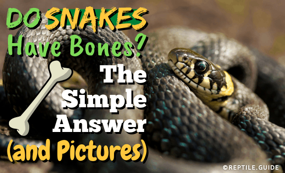 Do Snakes Have Bones The Simple Answer (and Pictures!) (1)
