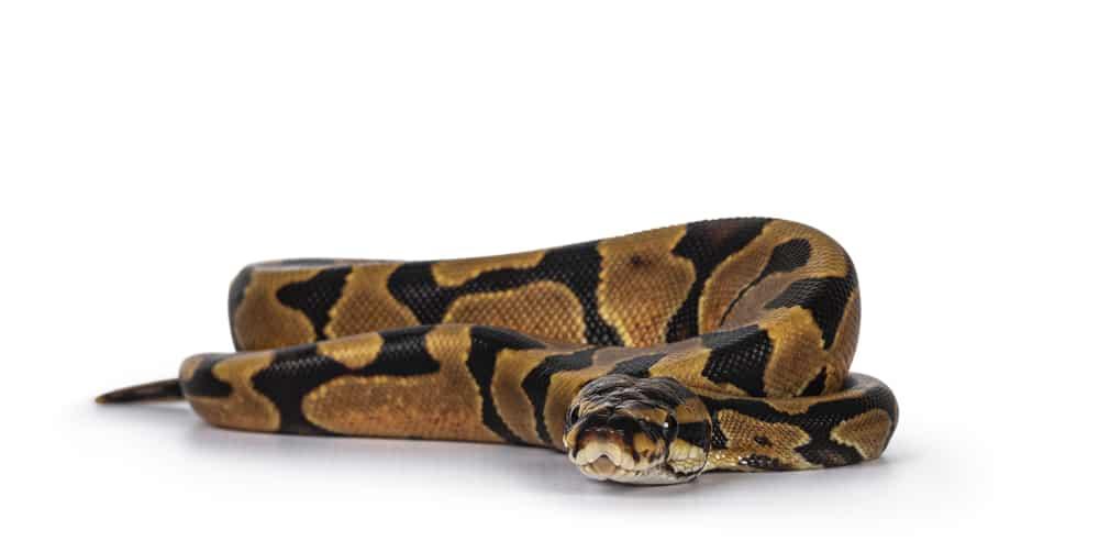 Enchi Ball python on white background