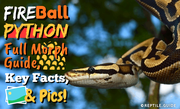 Fire Ball Python Full Morph Guide, Key Facts, & Pics