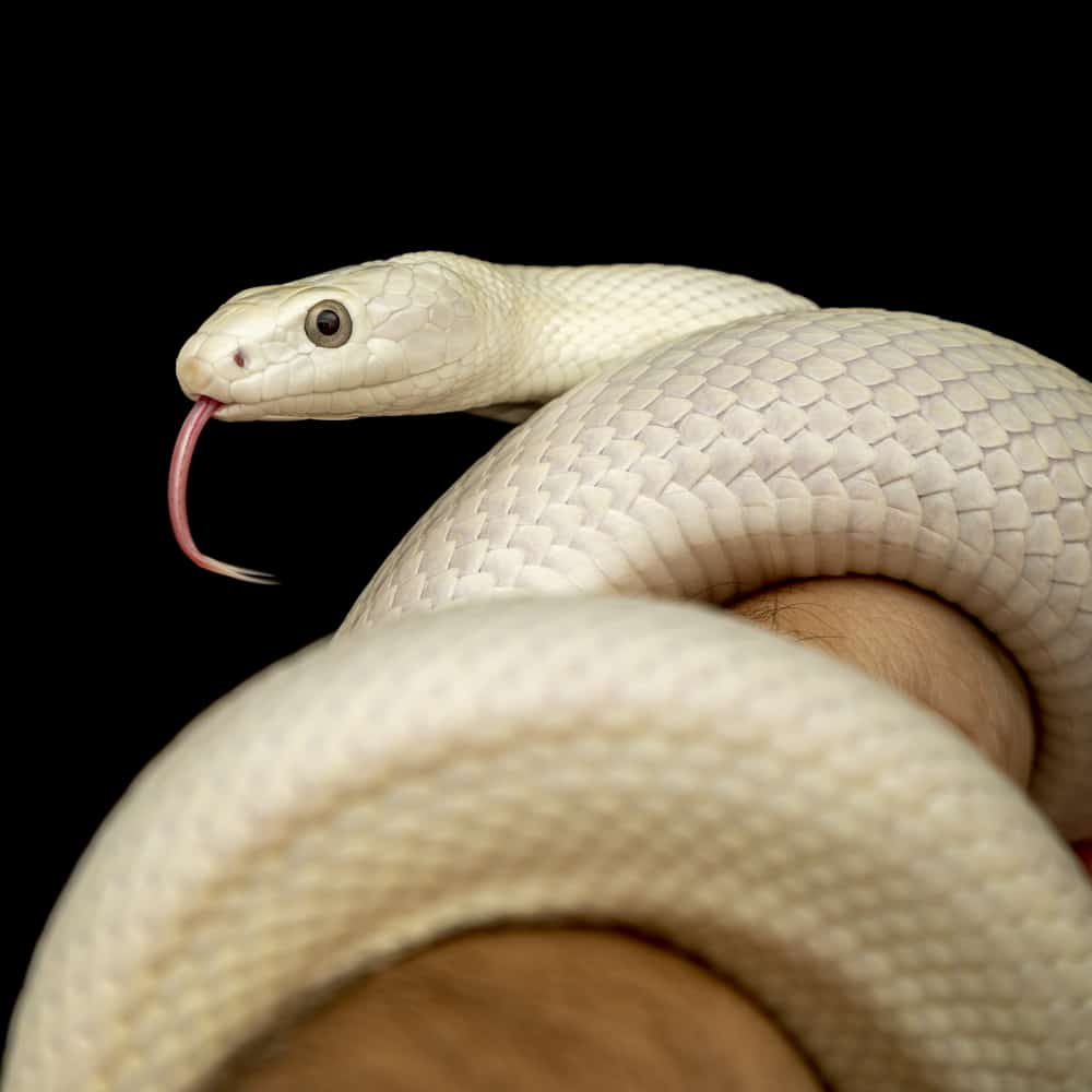 The Texas rat snake wrapped around an arm