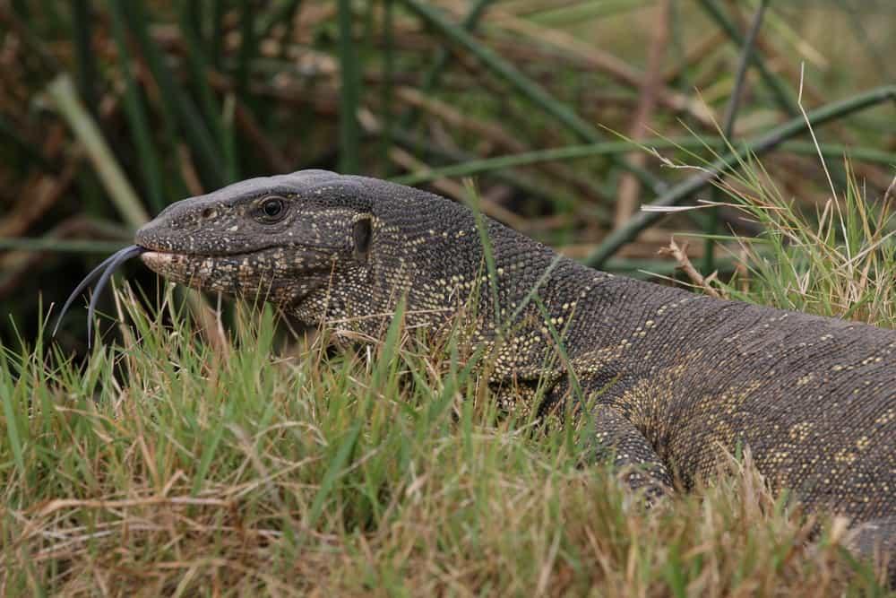 Jacobson's organ Komodo dragon lizard