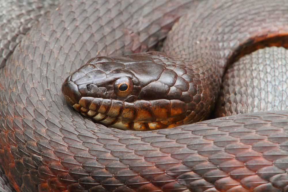 North American water snakes