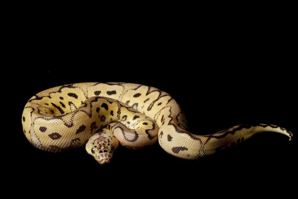 Pastel clown ball python