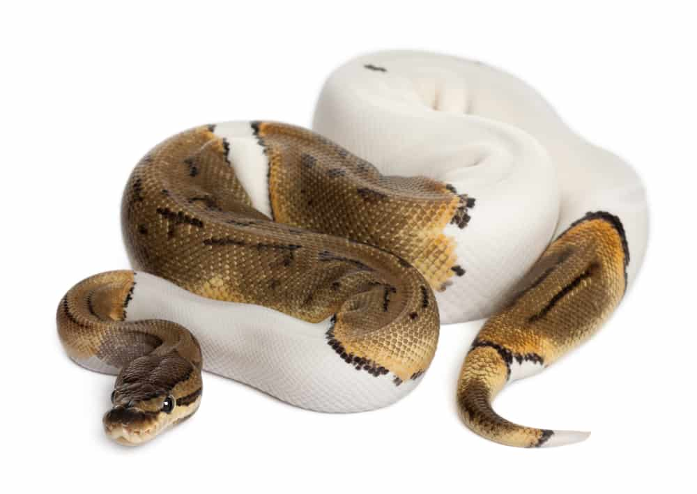 Pinstripe Ball Python different coloration.