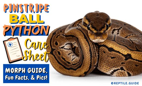 Pinstripe Ball Python Morph Guide, Fun Facts, & Pics! (2)