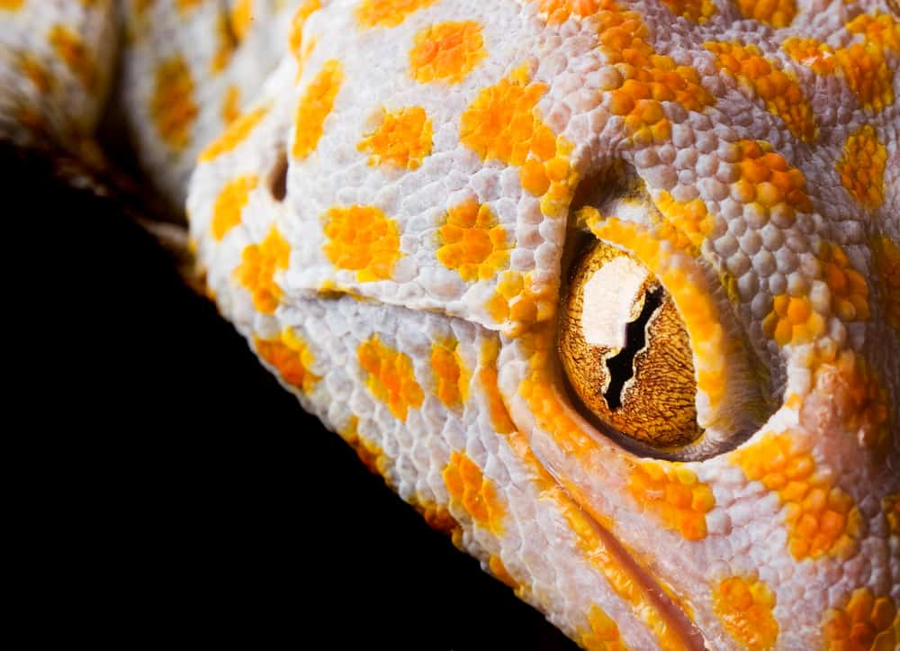 The Tokay Gecko in yellow and white color eyes in focus
