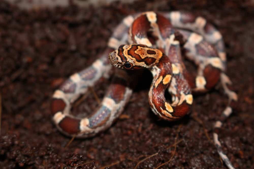 baby specimen of corn snake Pantherophis guttatus