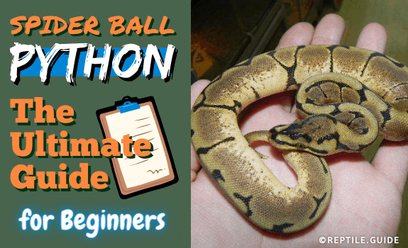 Spider Ball Python The Ultimate Guide for Beginners