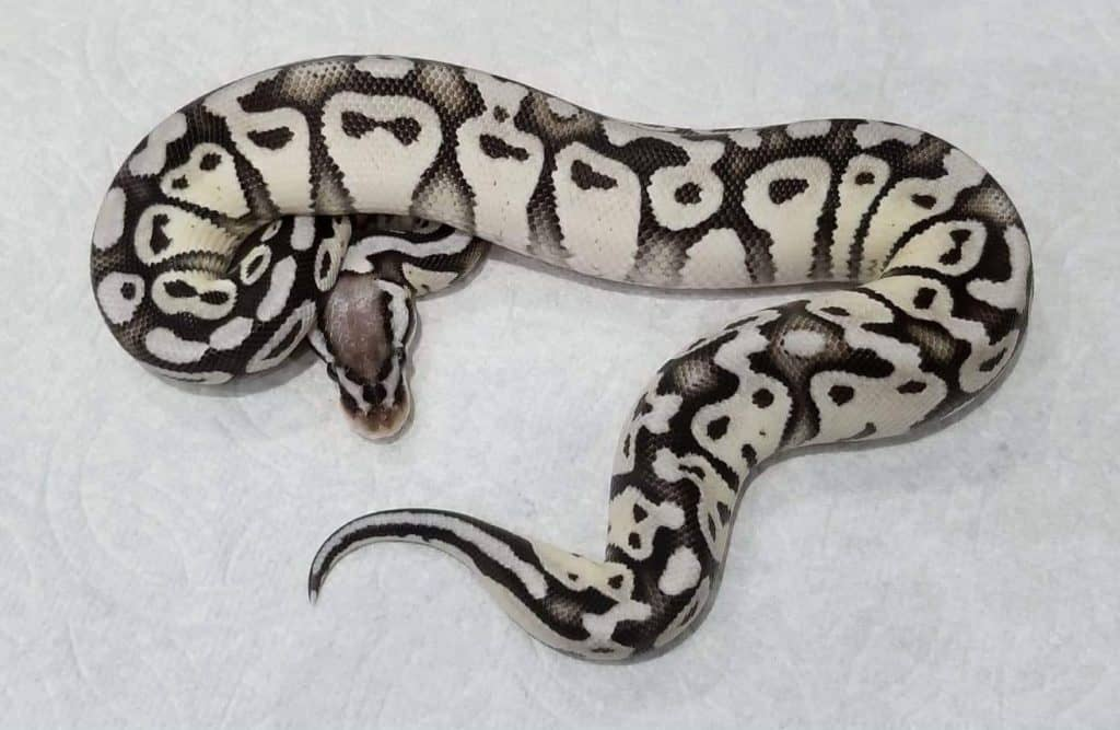 Stormtrooper Ball Python Appearance