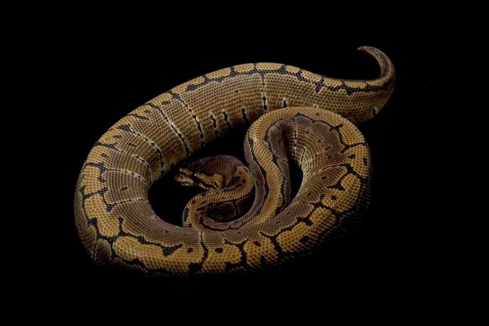 Super Pinstripe Ball Python