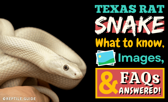Texas Rat Snake What to Know, Images, & FAQs answered! (1)